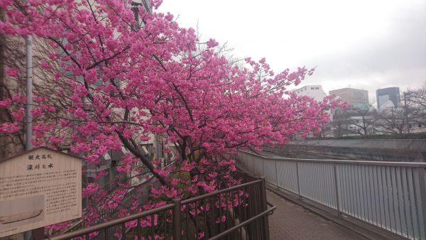 清澄通深川の海辺橋のさくらです。裏の伊勢屋の工場からのアンコを蒸す甘い匂いと混じって美味しそうな桜です。
