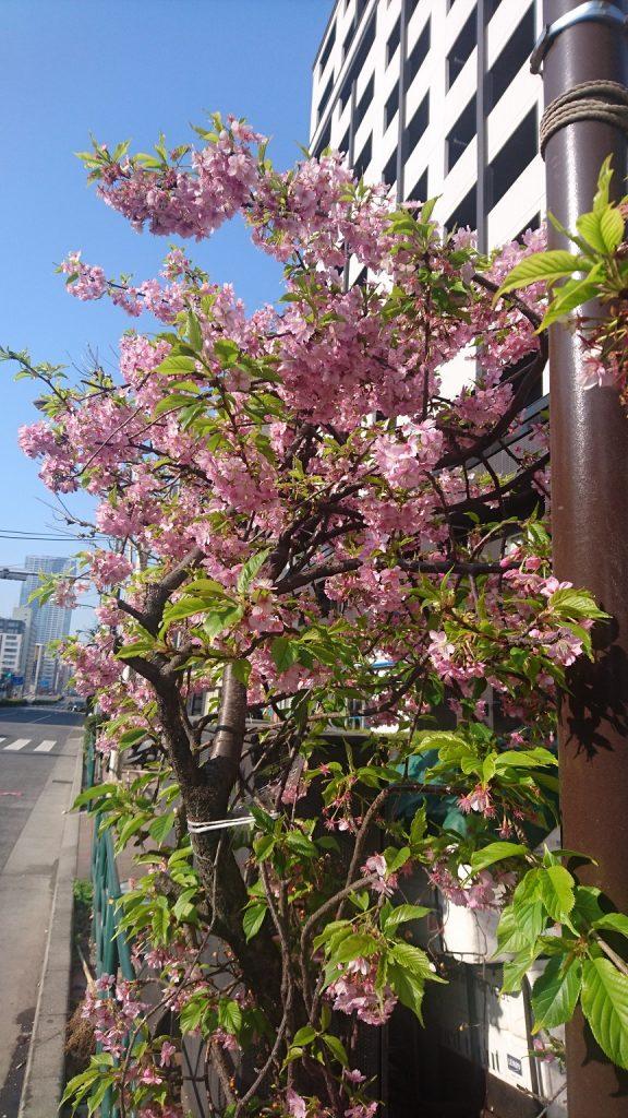 家の前の街路樹を勝手に誰かが抜いて植えた河津さくらも咲き始めました