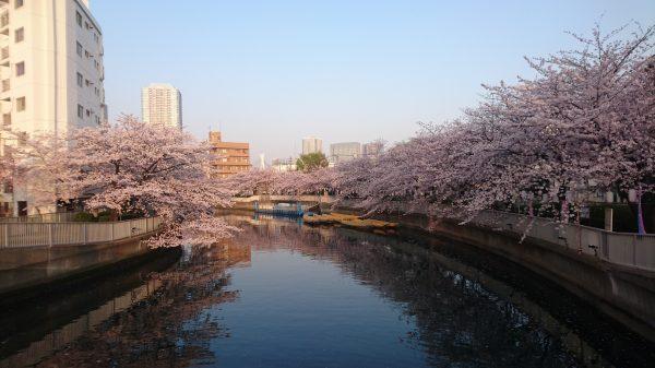 やがて、仲町の手前、大横川沿いもすっげー桜並木です