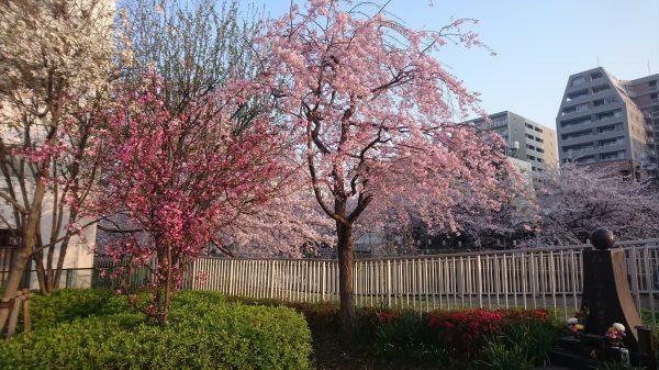 黒船橋手前の広場には、勝手気ままに植樹された桜の競演でした。