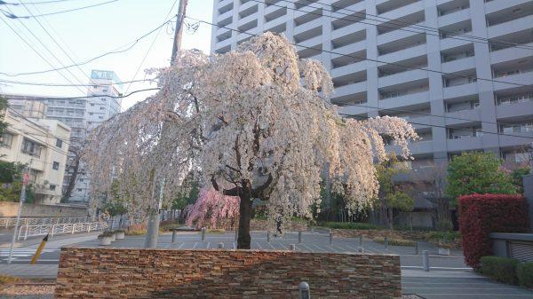 森下のマンションの桜は一本桜で見事な枝っぷりです!