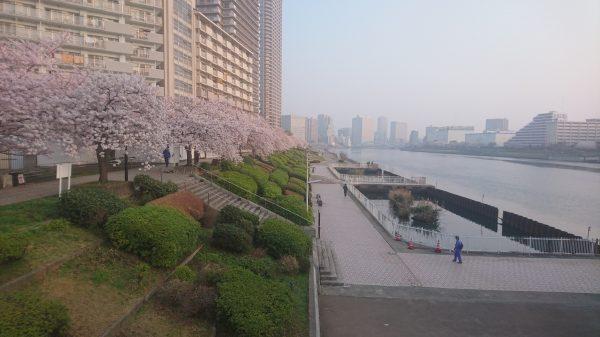 月島を出る橋の相生橋からは、石川島から新川の桜並木を一望出来ます 花がすみな朝です