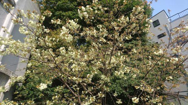清澄公園の空き地にある緑の花を咲かせるうこん桜はまだ六分咲き…