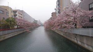 4月8日雨でも花散らしの雨ではありませんでした