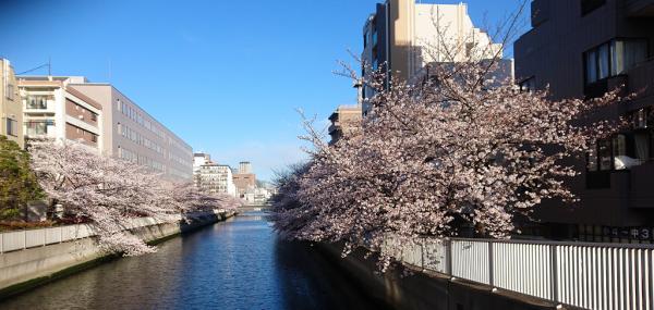 木場に繋がる運河にかかる海辺橋はそろそろ満開です