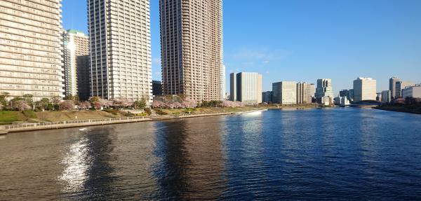 佃島の桜並木はまだ早いです。対岸の越中島もまだチラホラな感じです。奥側の新川岸はそろそろかな…