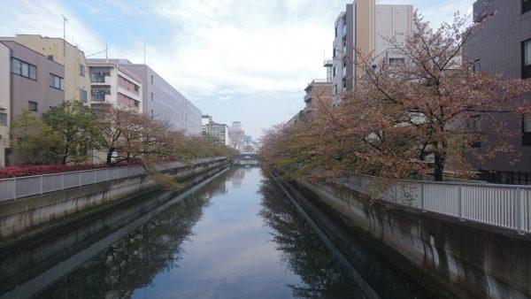 4月15日の桜です 一気に花が散り、緑が目立ってきました。暖かかった昨日1日で緑が出たんですね。